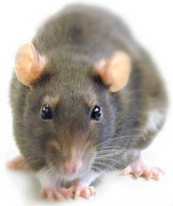 Ratas y ratones: enfermedades transmitidas